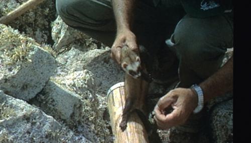 caza-conejo-con-huron